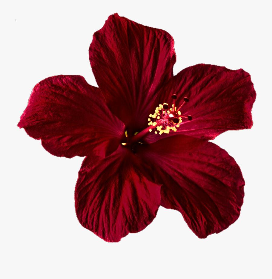 Hibiscus Clipart Png Tumblr Transparent Red Flower Free