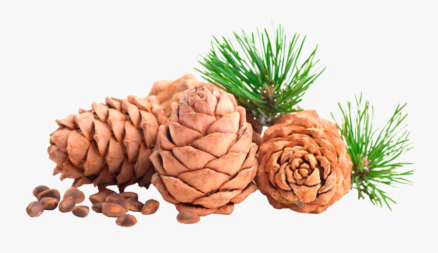 Clip Art Cedar Cone - Pine Nut Png, Transparent Clipart