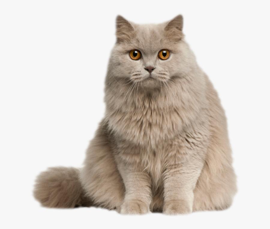 #cat #kitten #kitty #feline #fluffy #longhair #gray - Long Hair English Cat, Transparent Clipart