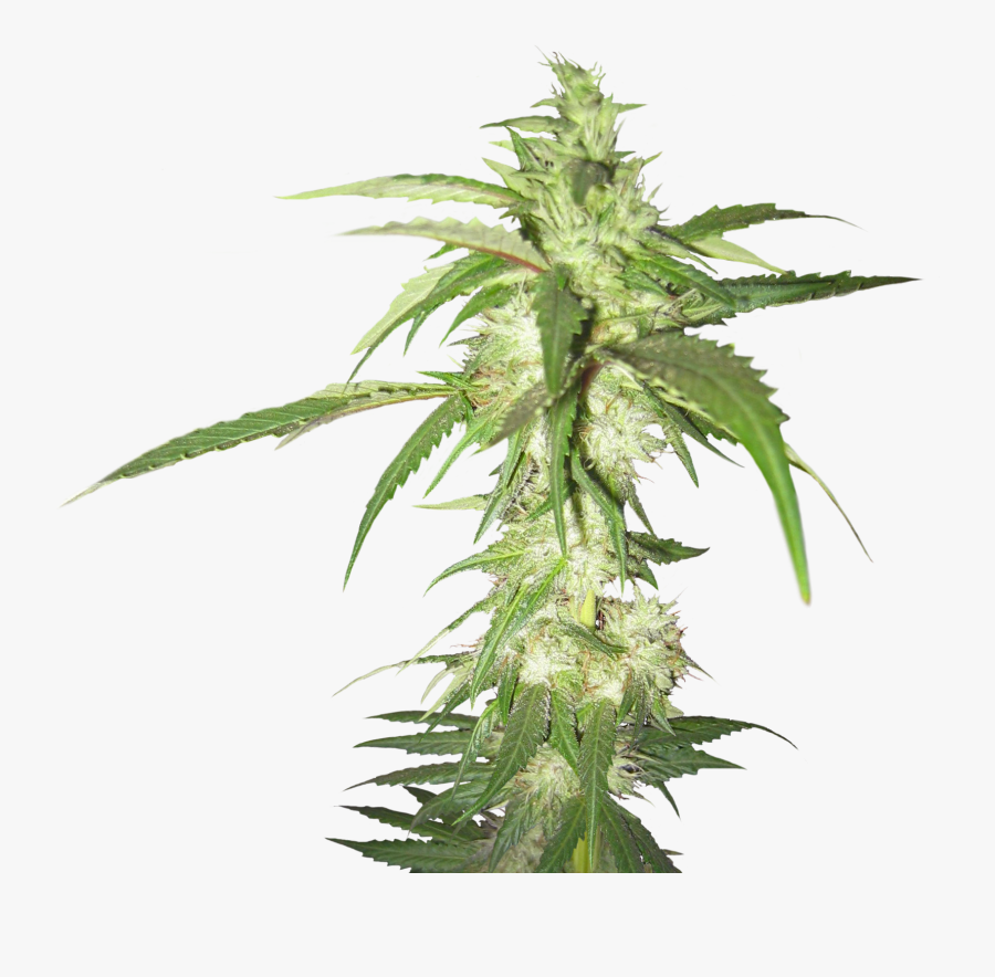 Marijuana Plant Transparent Background, Transparent Clipart
