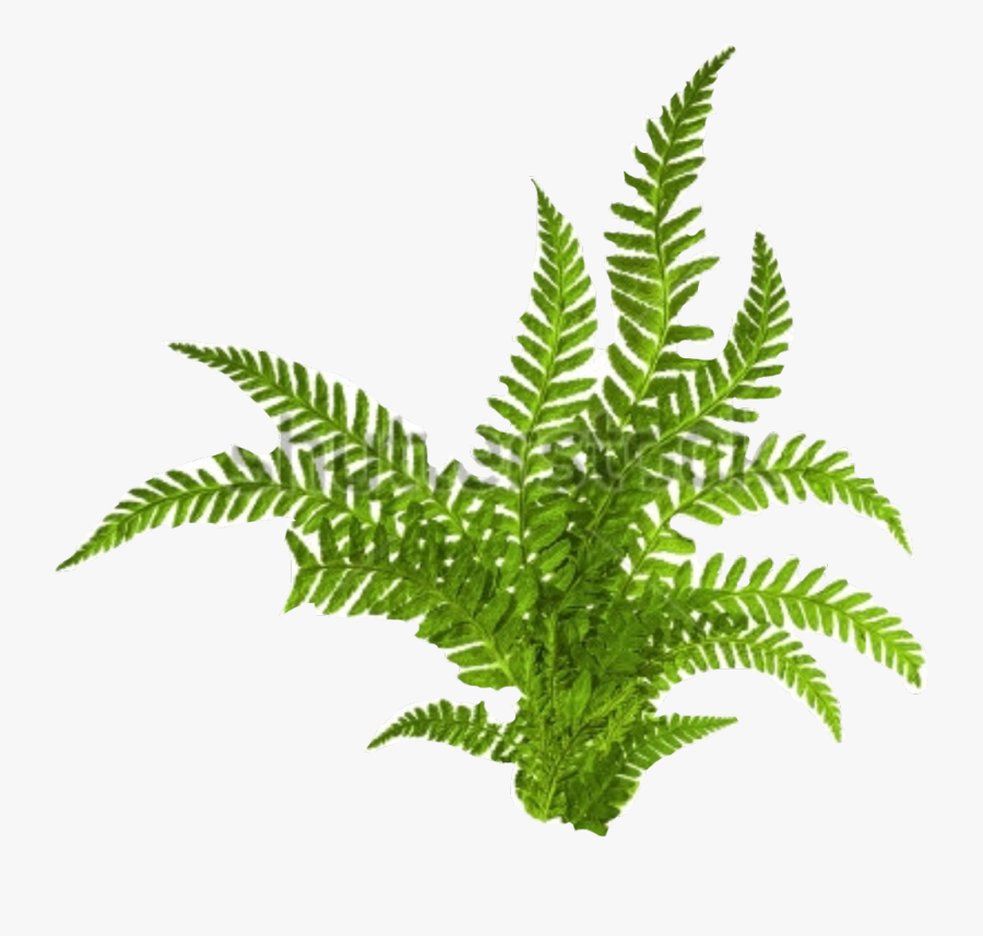 Transparent Fern Clipart Black And White - Fern Isolated, Transparent Clipart