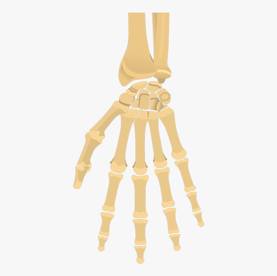 Clip Art And Wrist Bones Quiz - Wrist And Hand Bones Unlabeled, Transparent Clipart