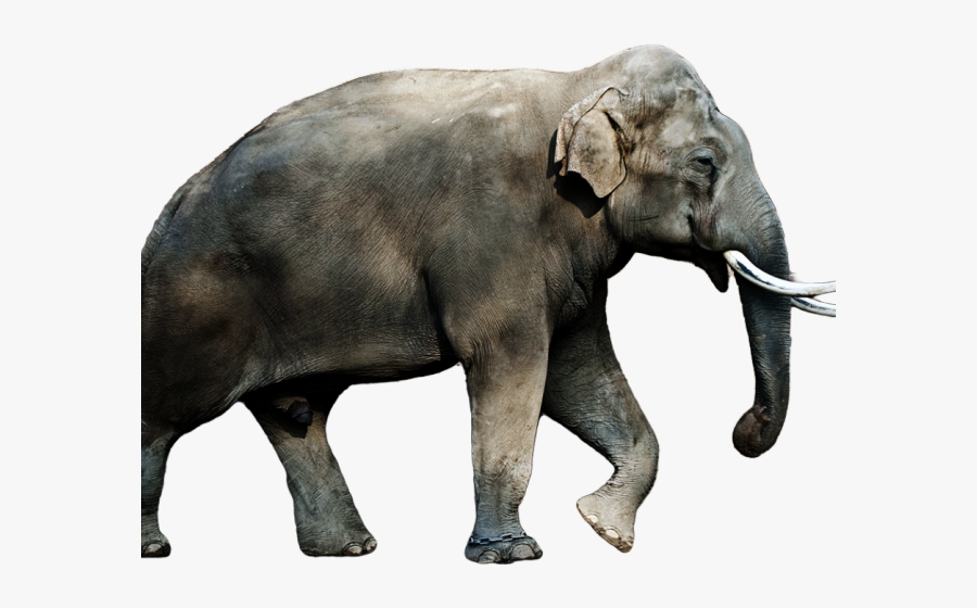 Asian Elephant Png Free Transparent Clipart Clipartkey Three species are recognised, the african bush elephant (loxodonta africana), the african forest elephant (l. asian elephant png free transparent