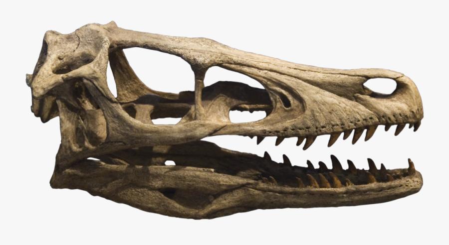 Dinosaur Skull Png - Velociraptor Skull, Transparent Clipart