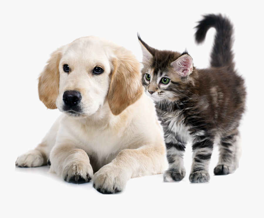 To Medium-sized Cats,whiskers,golden Retriever,companion - Dog & Cat Png, Transparent Clipart