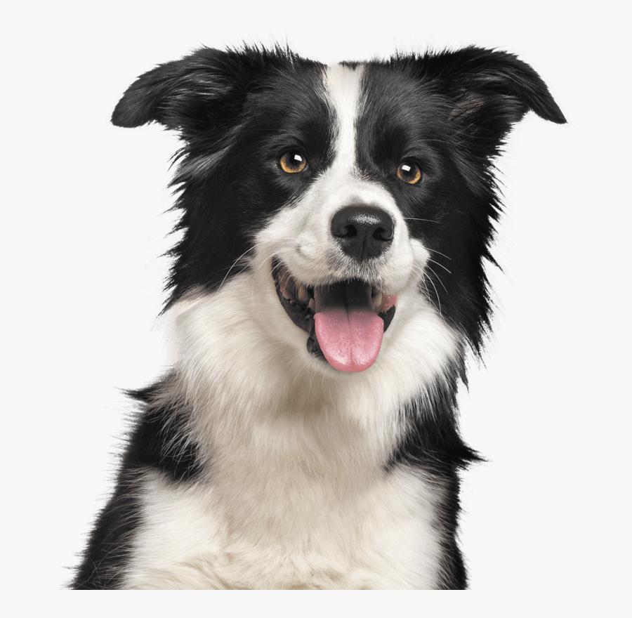 Dog Border Collie Transparent, Transparent Clipart
