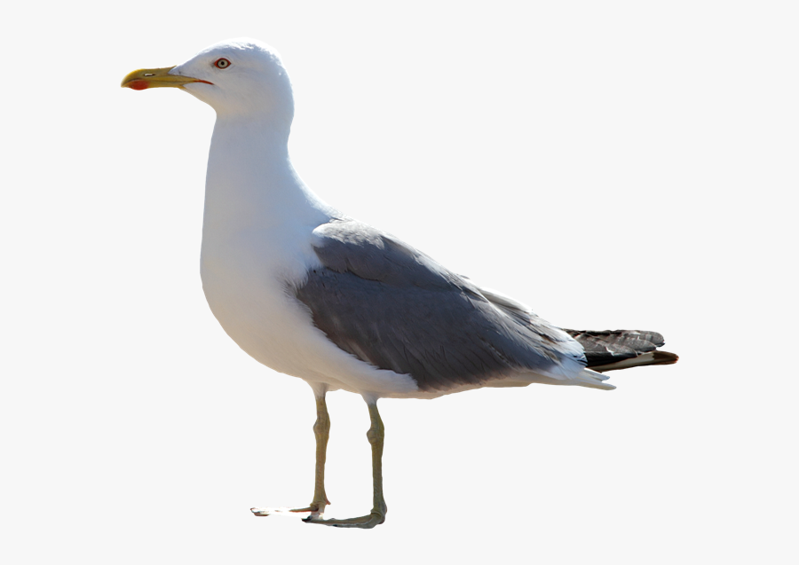Gull Png Image File - Transparent Seagull, Transparent Clipart