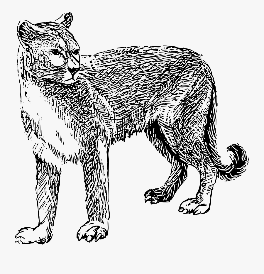 Mountain Lion Clip Art Coloring Page, Printable Mountain - Cougar Black And White Clipart, Transparent Clipart