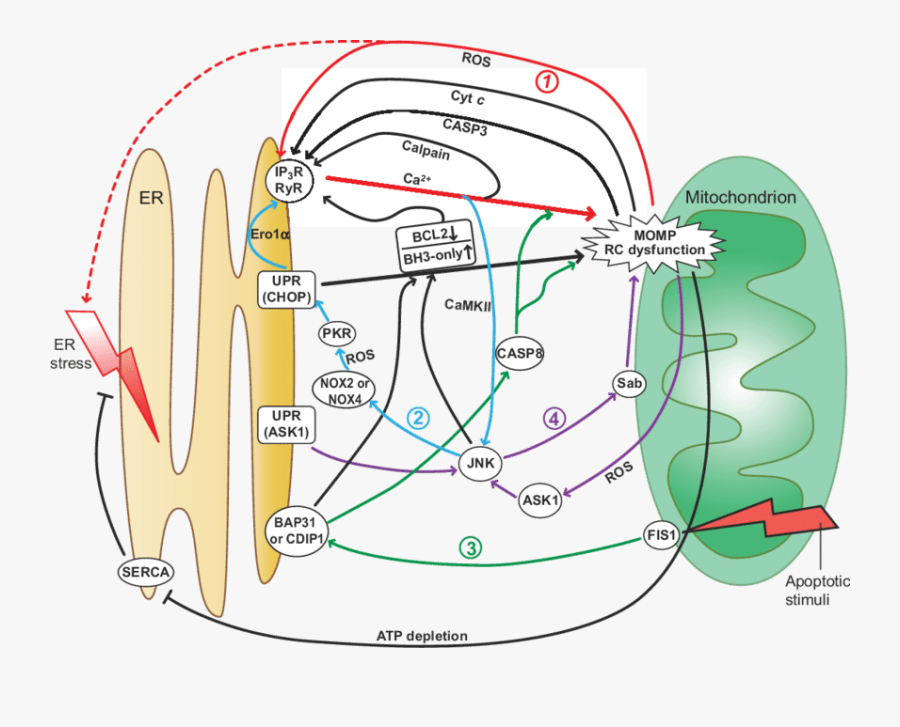 Amplification Loops In Er Centric Pro Apoptotic Signaling - Camkii Unfolded Protein Response Ask1, Transparent Clipart