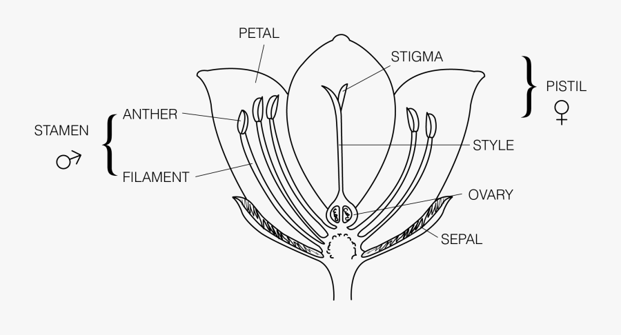 Pollination Clipart Diagram - Parts Of A Flower To Label   Free Transparent Clipart