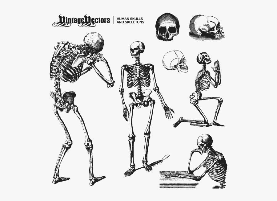 Transparent Skeleton Arm Png - Skeleton Vectors, Transparent Clipart
