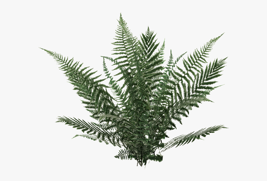 Yellow Fir,plant,terrestrial Plant,vascular Plant,tree,ferns - Ferns Png, Transparent Clipart
