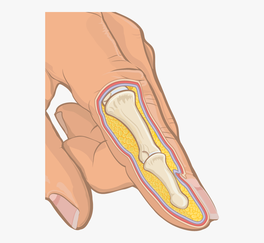 Anatomical Cross Section Of Human Finger - Finger Cross Section Labeled, Transparent Clipart
