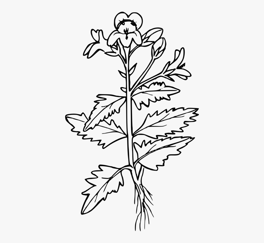 Botany,plant,flower - Mustard Plant Coloring Page, Transparent Clipart