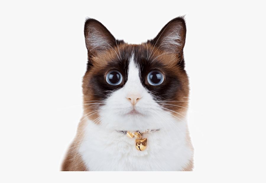 Clip Art Balinese Kitten - Snowshoe Cat, Transparent Clipart