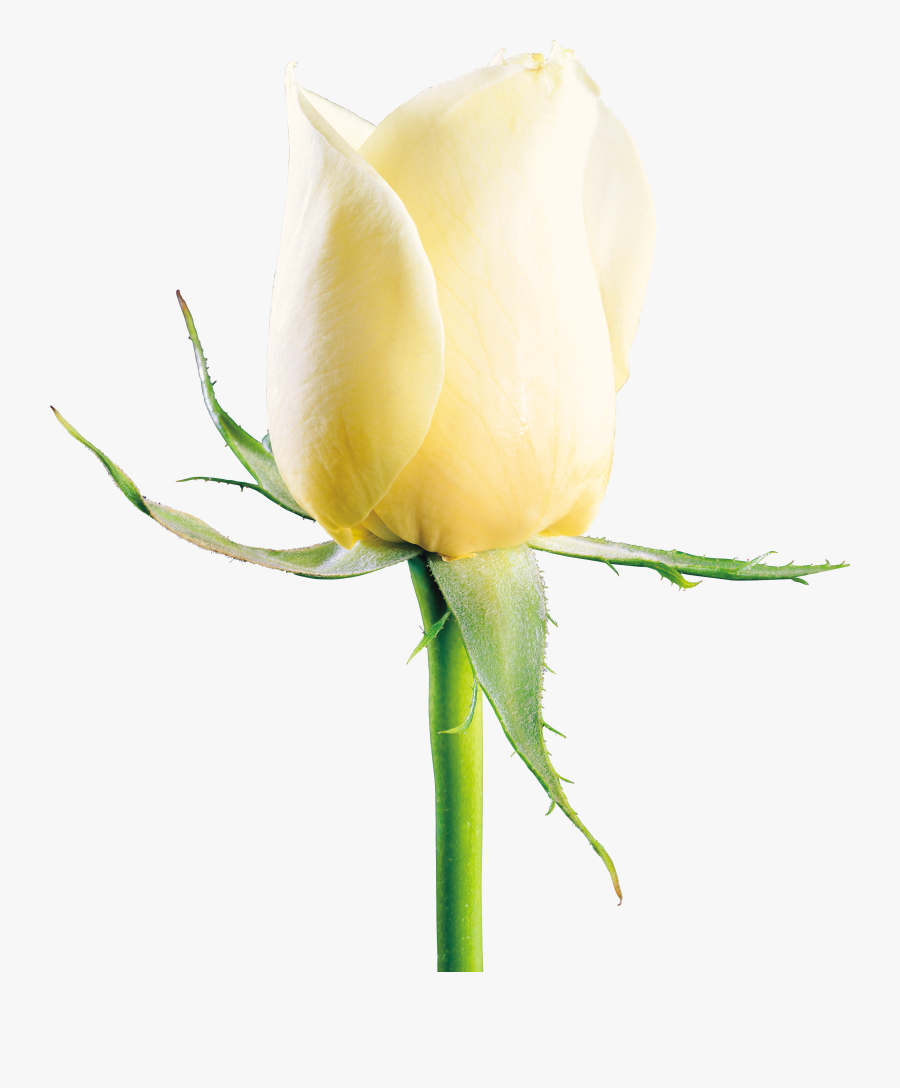 Guldasta Flowers Png White Rose Image Download Free Transparent Clipart Clipartkey See what guldasta e (guldastaes) has discovered on pinterest, the world's biggest collection of ideas. guldasta flowers png white rose image
