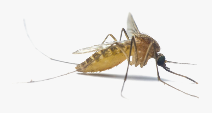 Winged Insect,stable Fly,black Fly,mayflies,net Winged - Transparent Background Mosquito Flying, Transparent Clipart