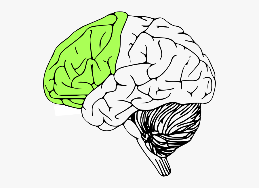 Outline Of Human Brain , Free Transparent Clipart - ClipartKey
