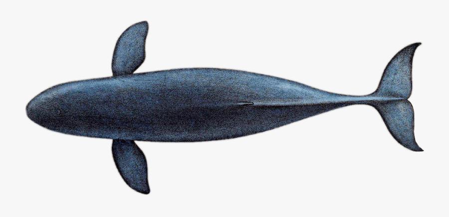 Transparent Blue Whale Clipart - Blue Whale Top View, Transparent Clipart