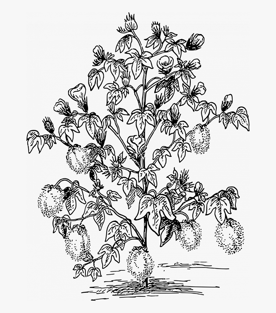 Cotton Plant Coloring Pages, Transparent Clipart
