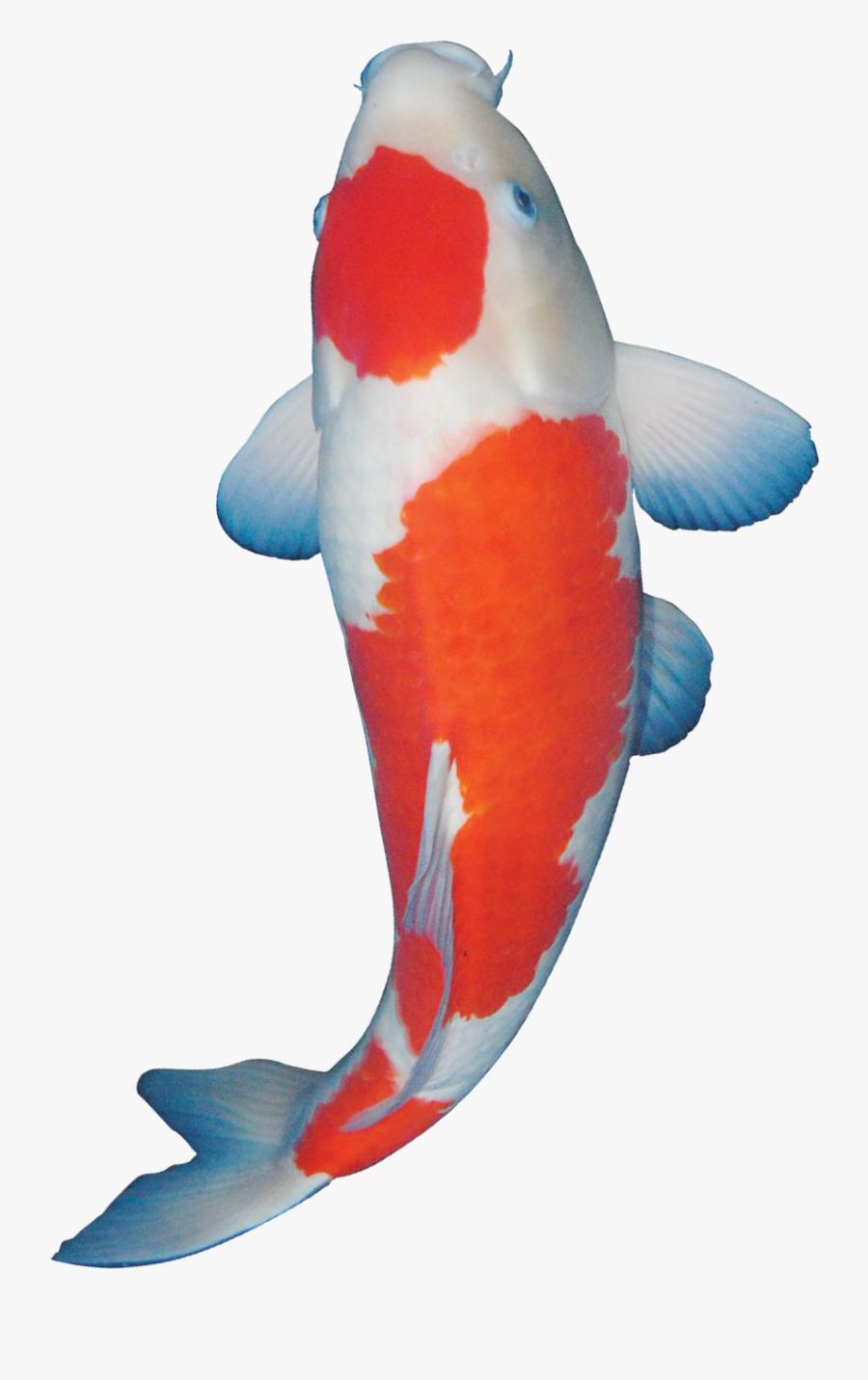 Ikan Koi Kartun Mina Gambar