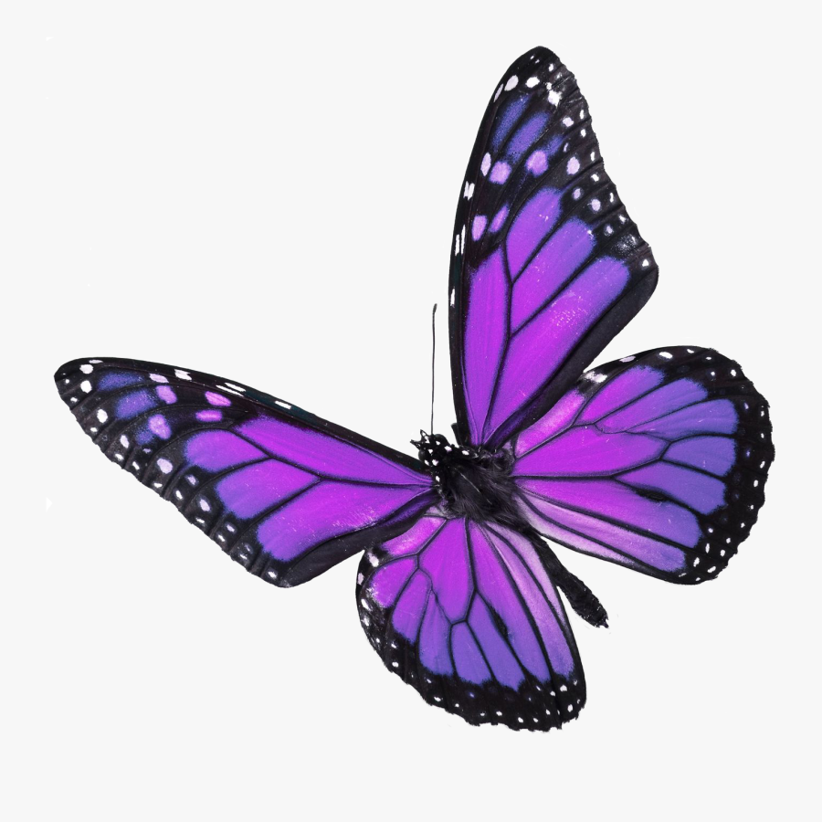 Showing Gallery For Real - Real Purple Monarch Butterfly, Transparent Clipart