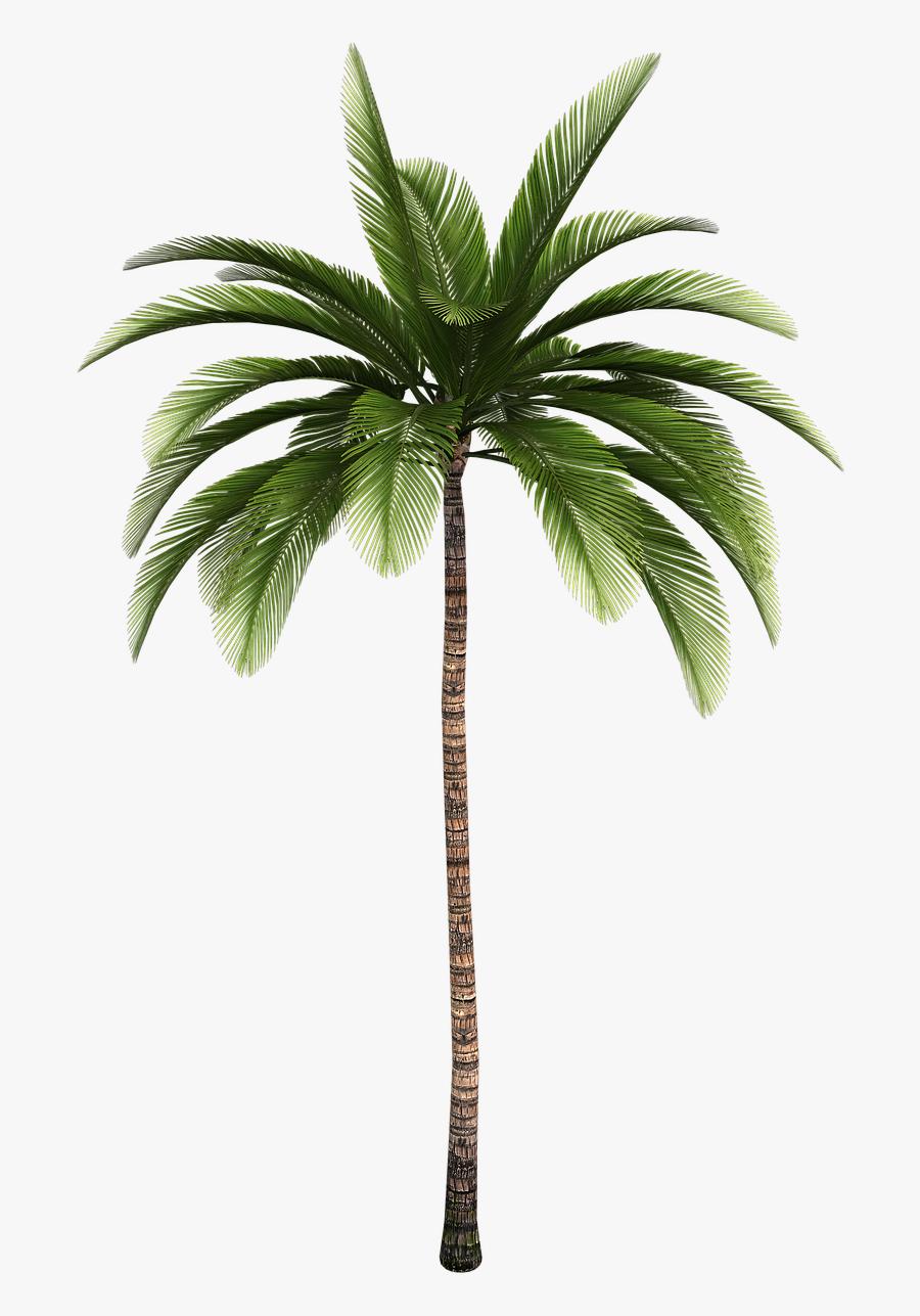 Clip Art Trees Coconut Babassu Free - Palm Tree Illustrator, Transparent Clipart