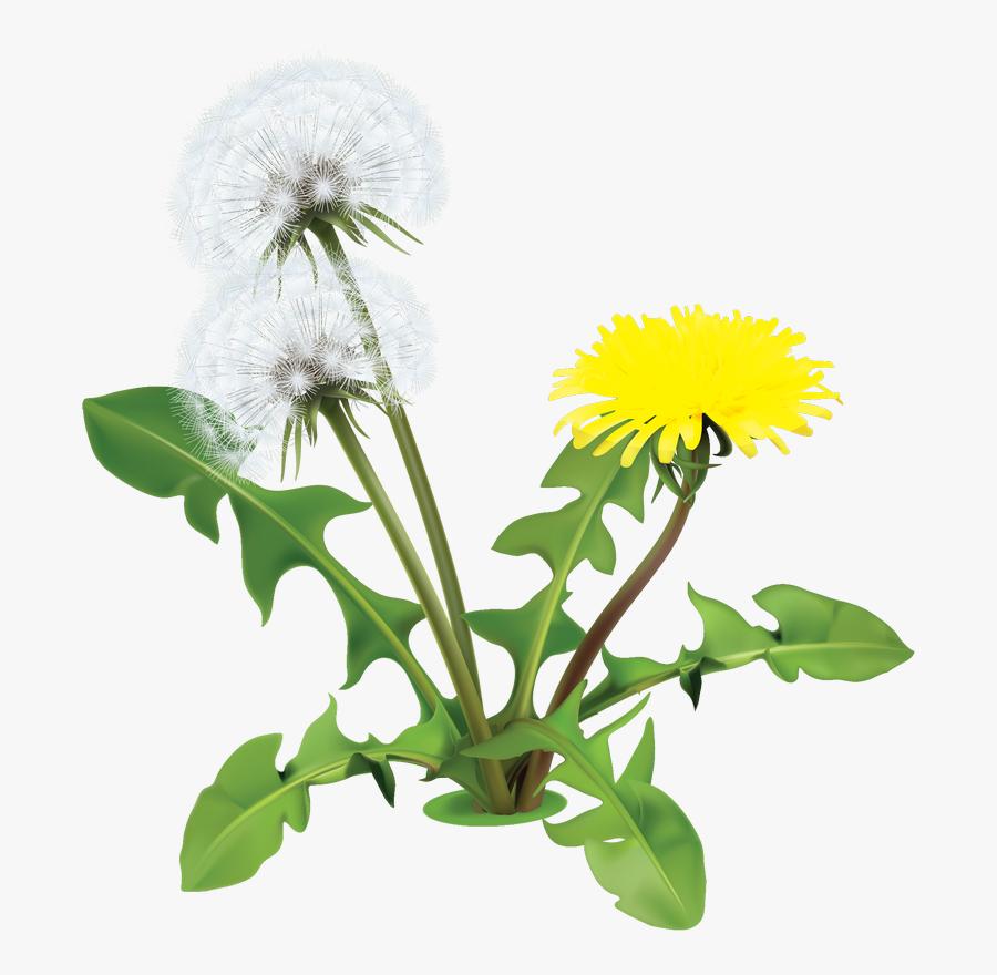 Dandelion Clipart Daisy - Png Dandelions , Free Transparent ...