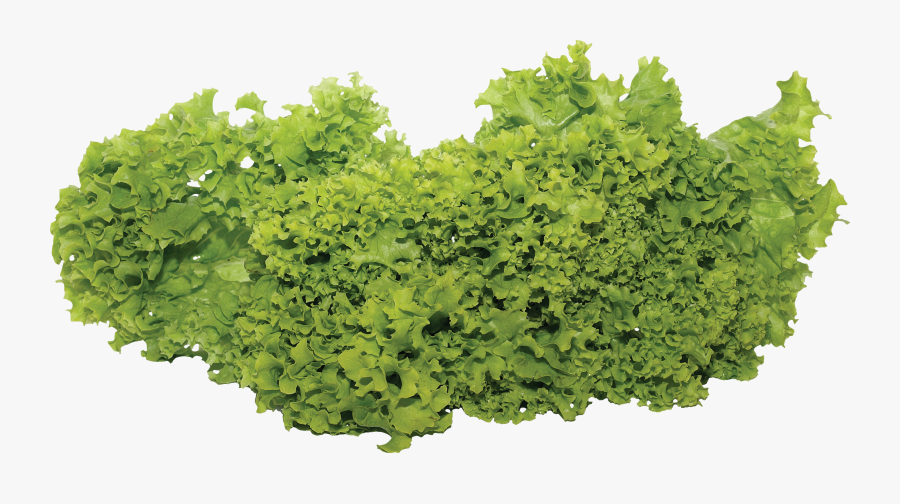 Lettuce Fixteen Isolated Stock - Garden Vegetables Png, Transparent Clipart