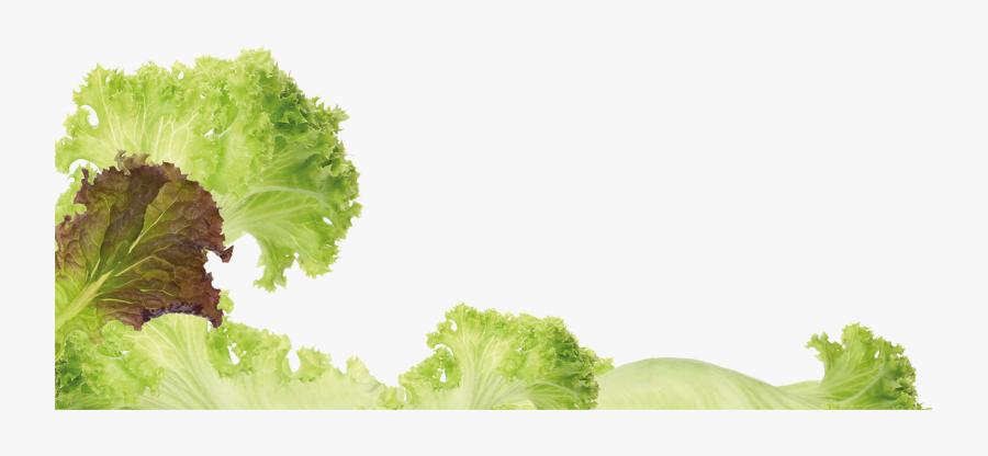 Photos Romaine Lettuce- - Romaine Lettuce, Transparent Clipart