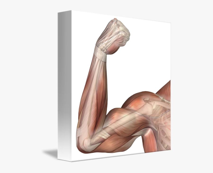 Illustration Of A Flexed - Bicep Flexed, Transparent Clipart
