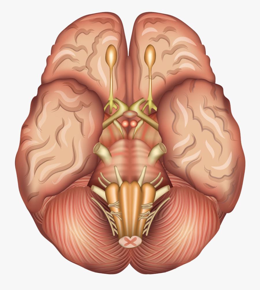 Human Brain Anatomy Sagittal Plane Pituitary Gland - Pituitary Gland Human Brain, Transparent Clipart