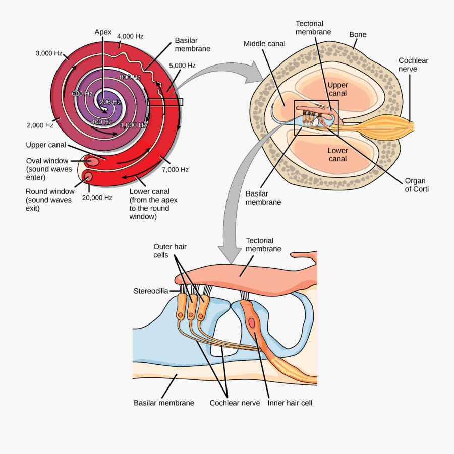 A Series Of Three Illustrations Are Shown - Sensory Transduction, Transparent Clipart