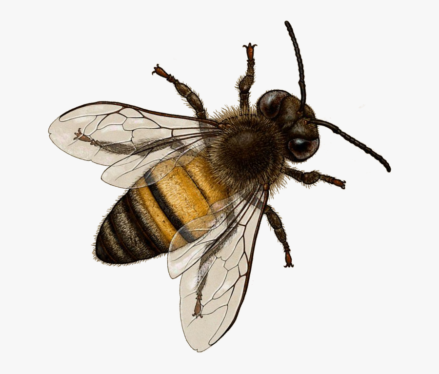 Transparent Background Honey Bee Png, Transparent Clipart