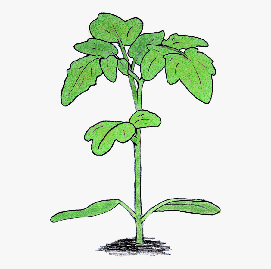Seedling Clipart Big Plant - Tomato Plant Seedling Png, Transparent Clipart
