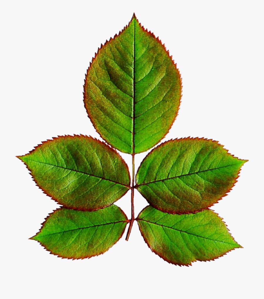 Clipart Rose Leaf - Leaves Of Rose Plant, Transparent Clipart