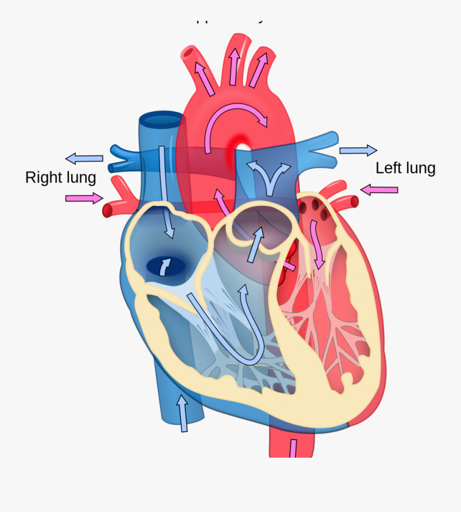 Blood Flow Unlabeled Heart Diagram Clipart , Png Download ...
