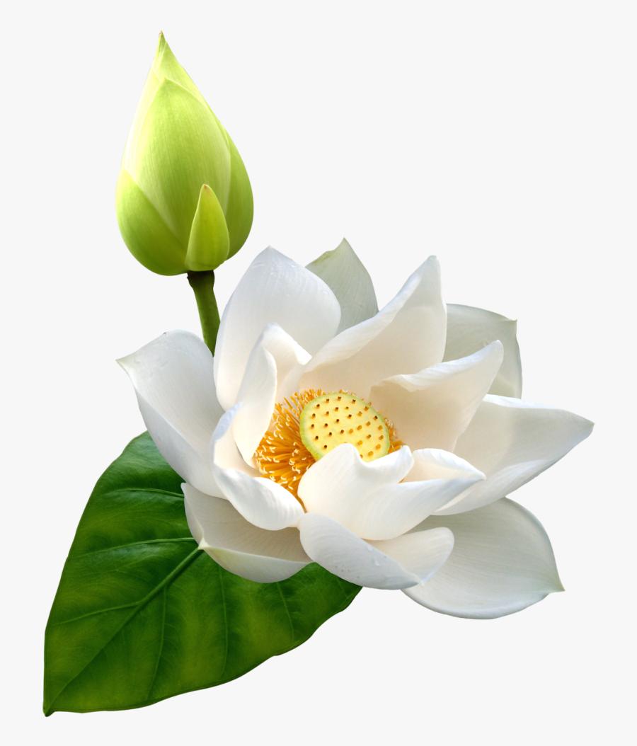 White Lotus Png Clip Art - Lotus Flower White Png, Transparent Clipart