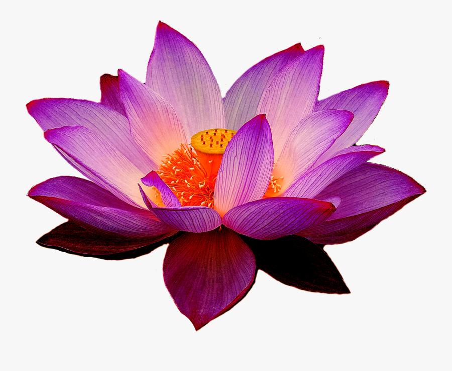 Purple Lotus Flower Png, Transparent Clipart