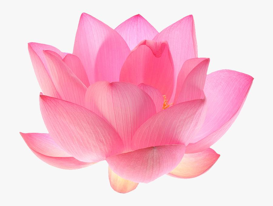 Indian Lotus - Transparent Background Lotus Flower Png, Transparent Clipart