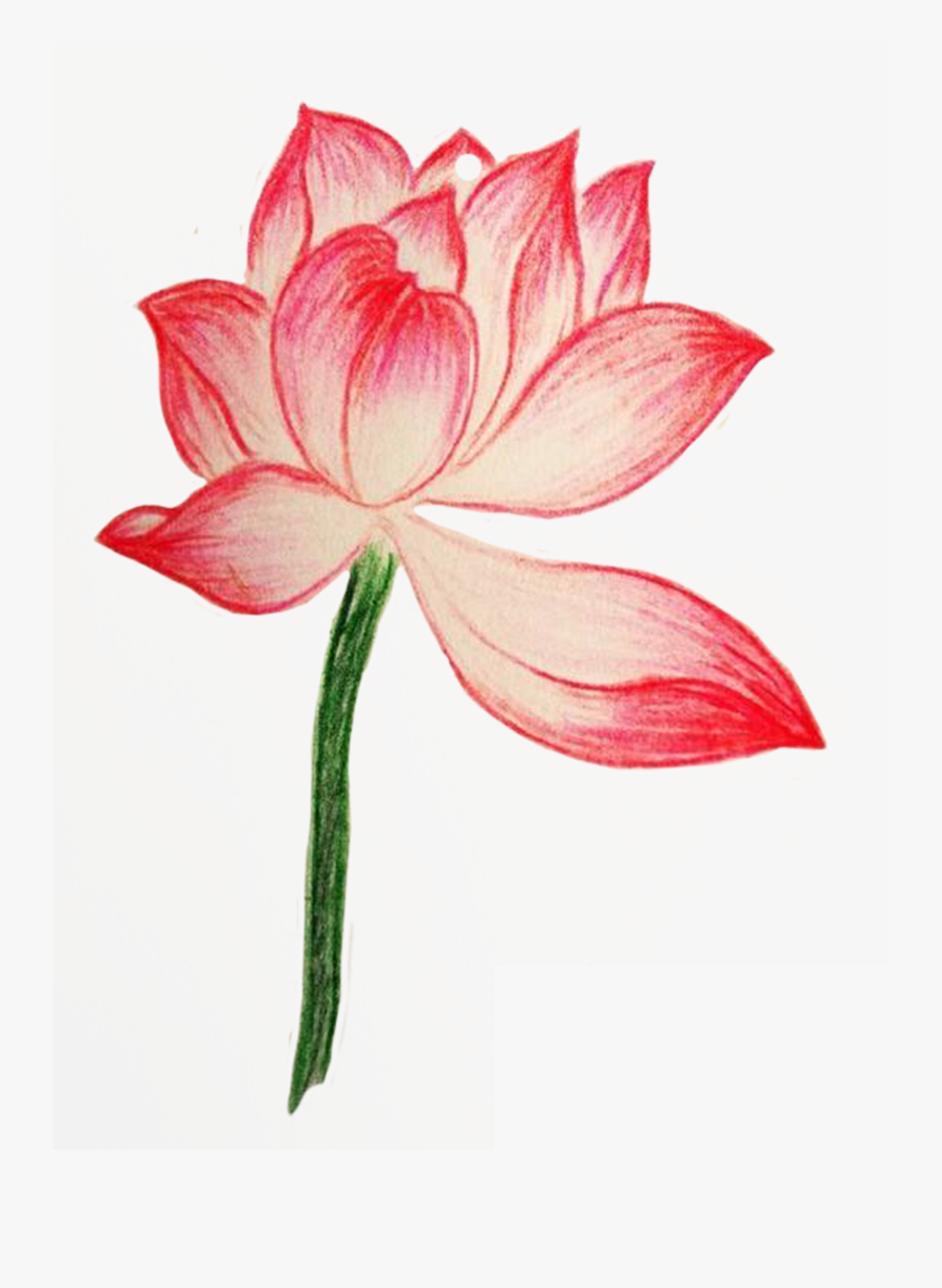 Clip Royalty Free Download Amaryllis Drawing Pencil - Colored Lotus Flower Drawing, Transparent Clipart