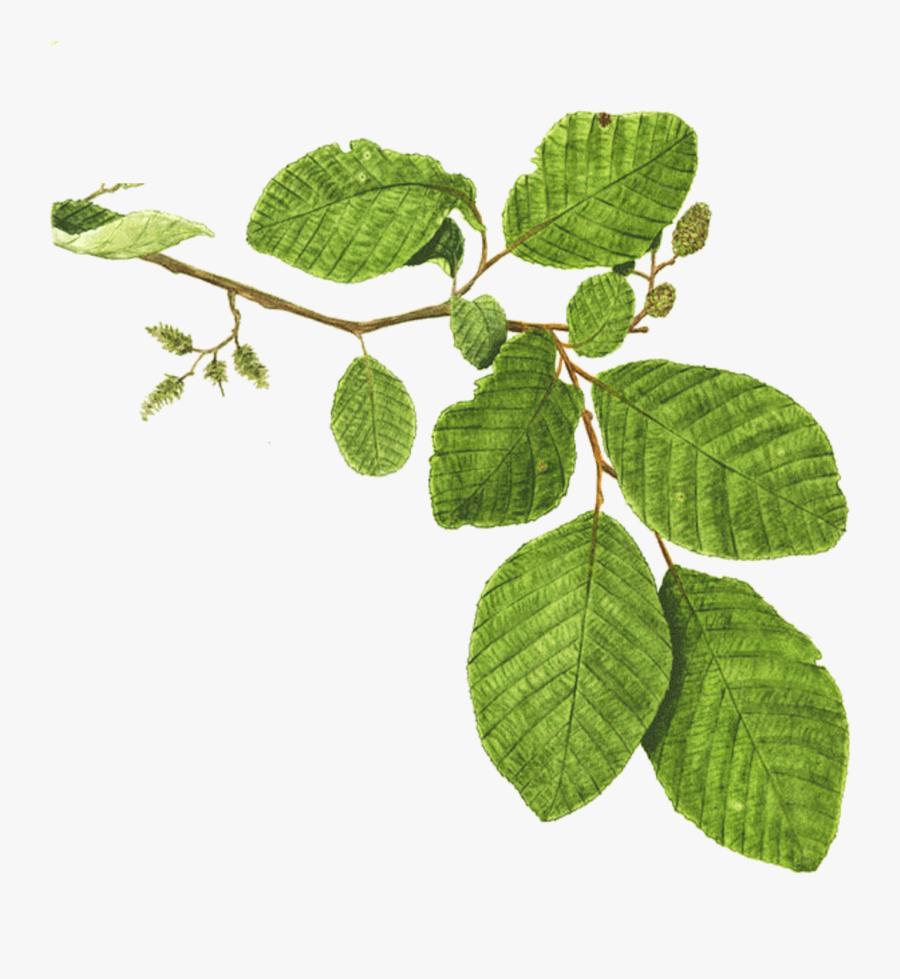 Mentha Spicata Branch Plant Mint Leaf - Alder Tree Branch, Transparent Clipart