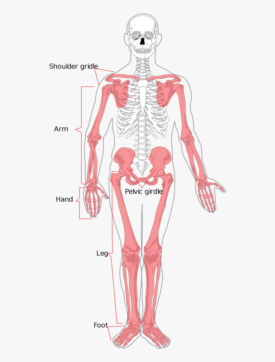 Skeleton Clipart Torso - Appendicular Skeleton, Transparent Clipart