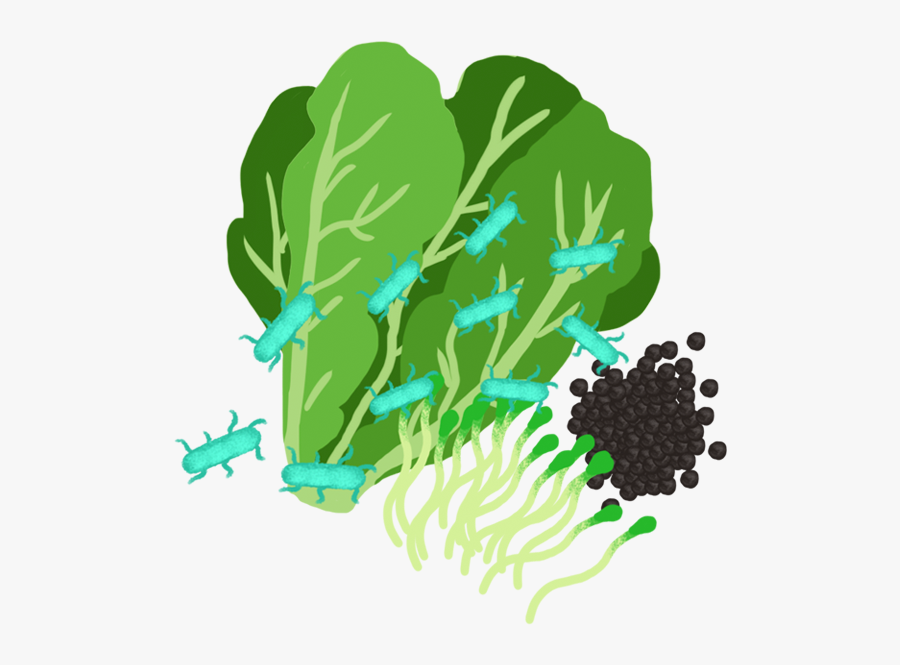 Coli In Romaine Lettuce - Drawing, Transparent Clipart