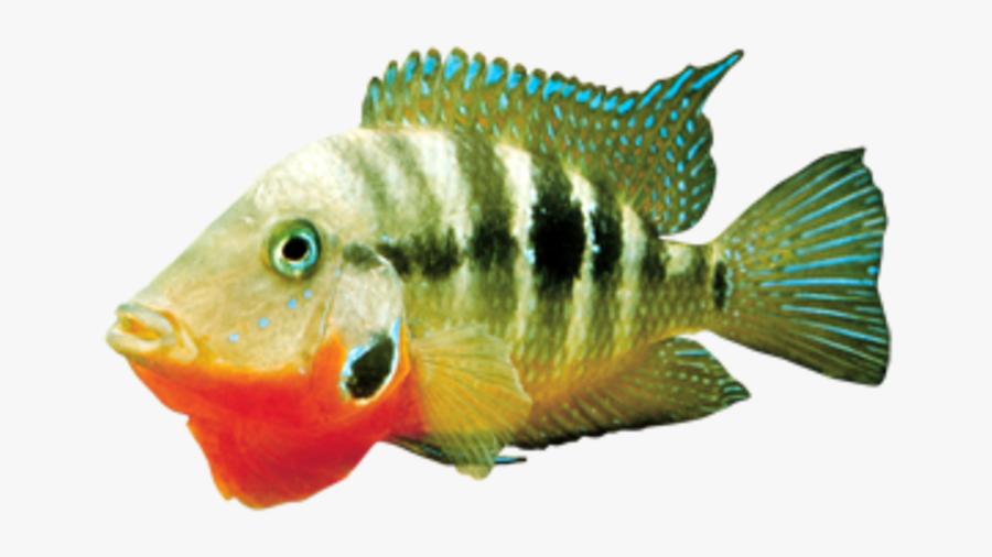 Clip Art Green Tiger Barb Fish - Cichla, Transparent Clipart