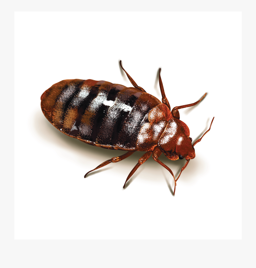 Clip Art Parasitic Insects - Cockroach Bed Bugs, Transparent Clipart