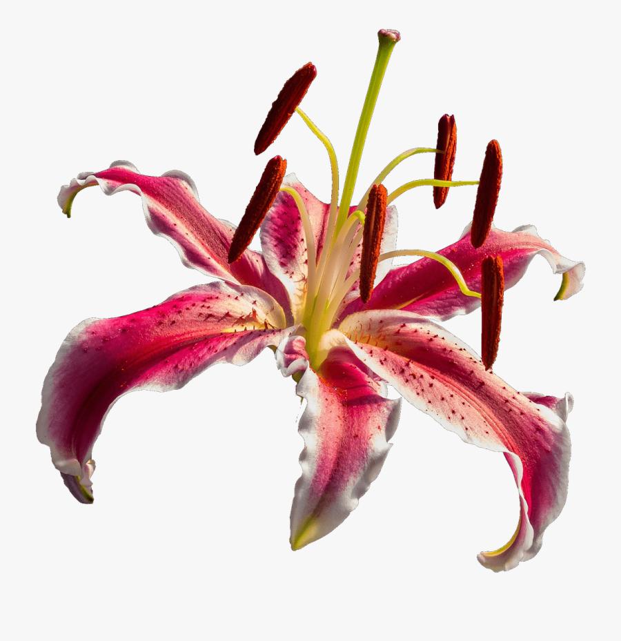 Orchid Transparent Red - Lirio Vermelho Png, Transparent Clipart