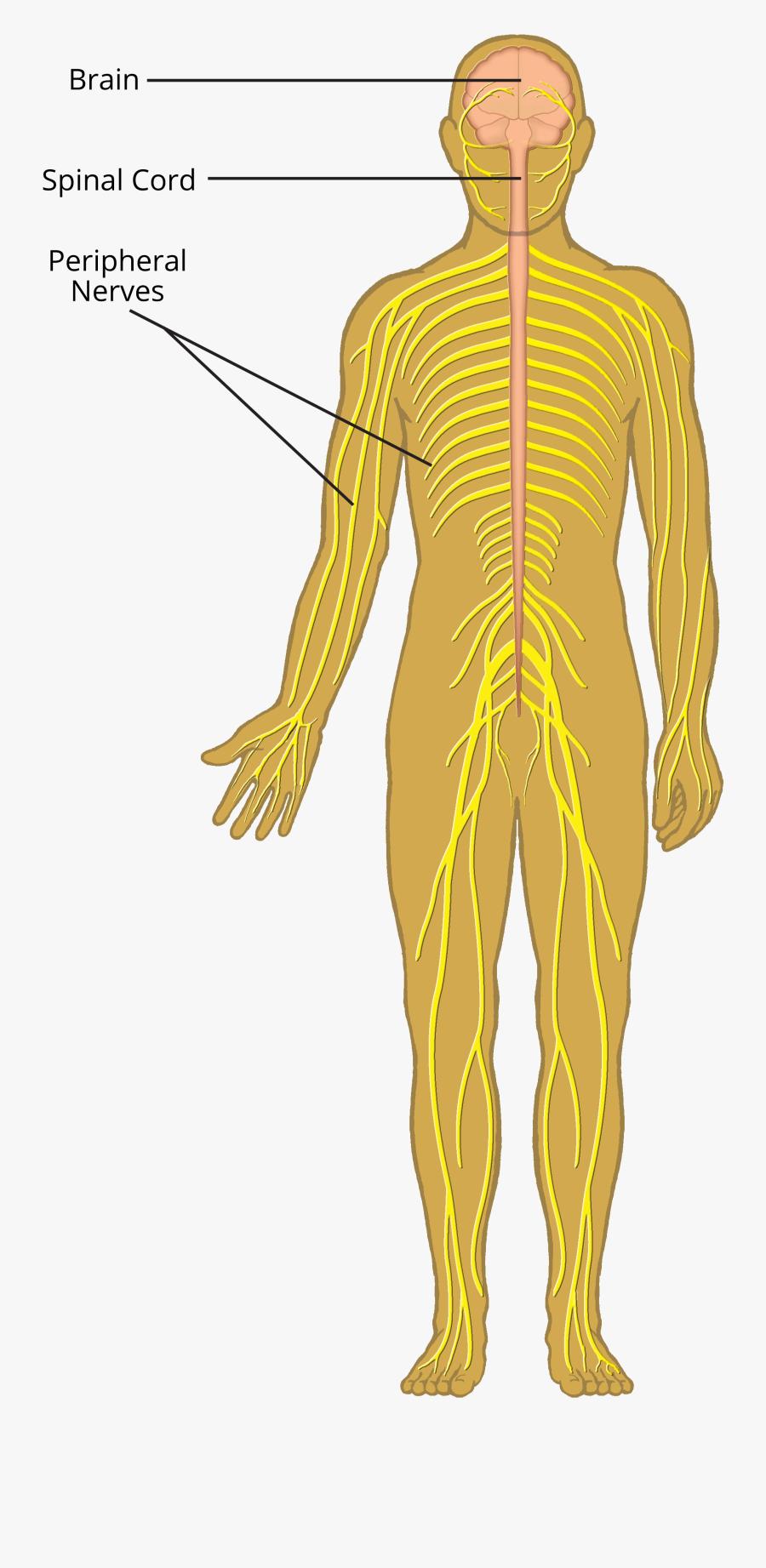 Clip Art Nervous System Pictures - Peripheral Nervous System Cartoon, Transparent Clipart