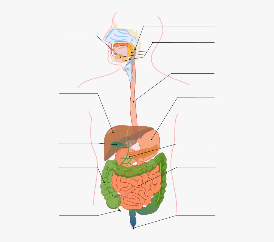 Digestive System Diagram No Labels   Free Transparent