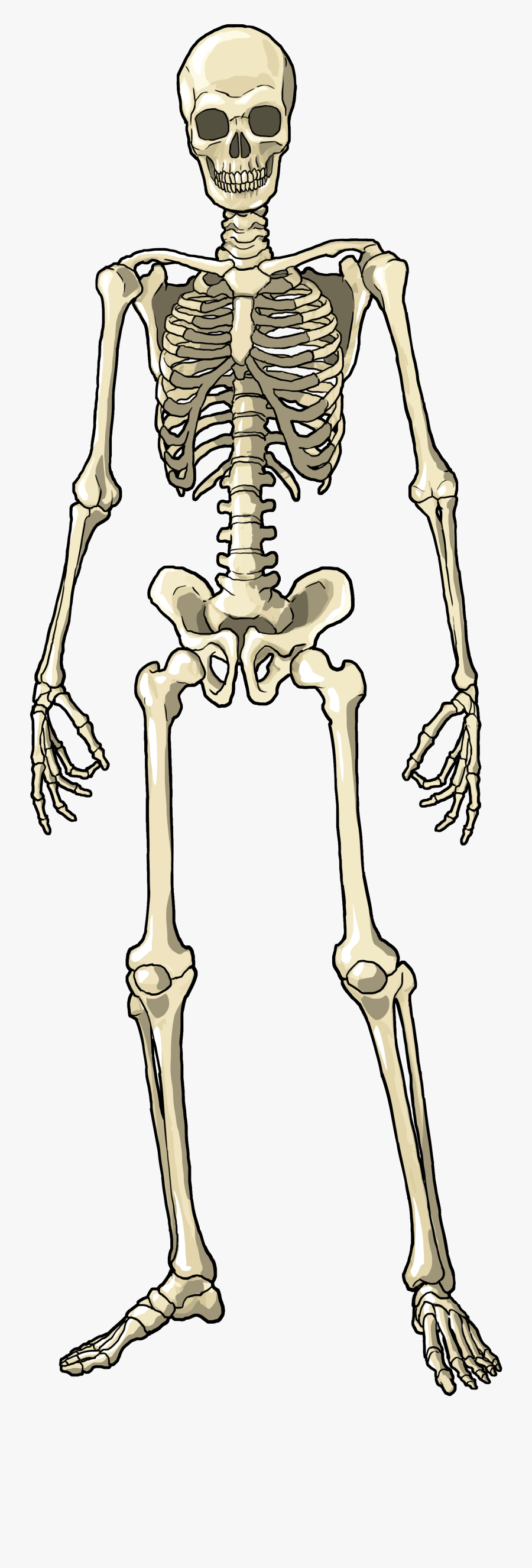 Skeleton Full Body Png, Transparent Clipart